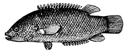 Climbing Perch is a genus of acanthopterygian fishes, vintage line drawing or engraving illustration.