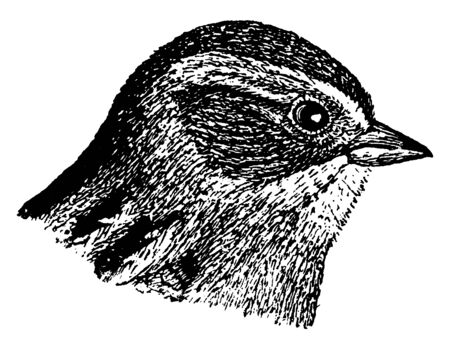 Swamp Sparrow is a medium sized sparrow, vintage line drawing or engraving illustration.