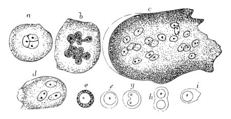 Red marrow occupies the spaces in the cancellous tissue, vintage line drawing or engraving illustration.