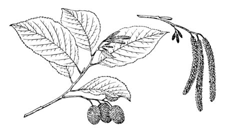 This is branch of Alnus Oblongifolia three also known as Arizona Alder. This tree grows upto 72 feet, vintage line drawing or engraving illustration. Illustration
