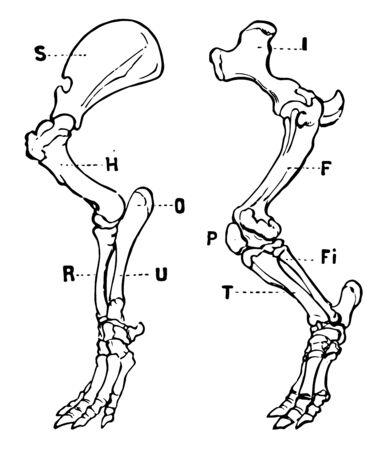 Tapir Legs is a large herbivorous mammal similar in shape to a pig, vintage line drawing or engraving illustration.