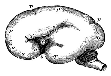 This illustration represents Fetal Brain at Six Months, vintage line drawing or engraving illustration.