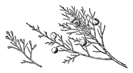 Photo of leaves which are looking like needles. Fruits on leaves are looking like lemon, vintage line drawing or engraving illustration.