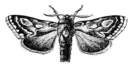 Pine Beauty Moth ist der gebräuchliche Name von Trachea Piniperda, Vintage-Linienzeichnung oder Gravurillustration.