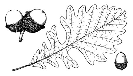 In this image are Quercus macrocarpa a fruit. It is the branch of the Bur Oak tree, vintage line drawing or engraving illustration.