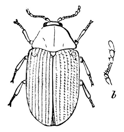 Brown Beetle is a group of insects that form the order Coleoptera, vintage line drawing or engraving illustration.