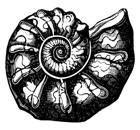 Ammonites are an extinct group of marine mollusc animals in the subclass Ammonoidea of the class Cephalopoda, vintage line drawing or engraving illustration.