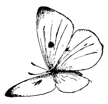 P Rapae Butterfly which is called Pieris rapae and it is Small White butterfly, vintage line drawing or engraving illustration. Ilustração