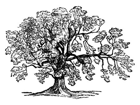 This is a mature Ash tree and it is very commonly seen around, vintage line drawing or engraving illustration.