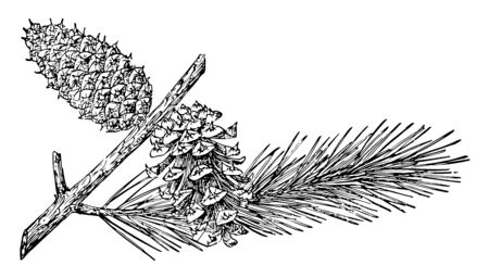Pine cone is of Lodgepole tree. Wood of this tree used to build a Native American lodge, vintage line drawing or engraving illustration. Stock Illustratie