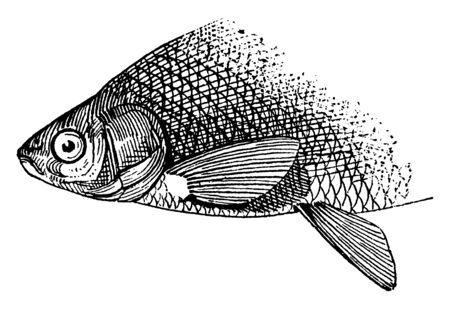 Abdominal situated in or on the abdomen, vintage line drawing or engraving illustration. Reklamní fotografie - 133002782