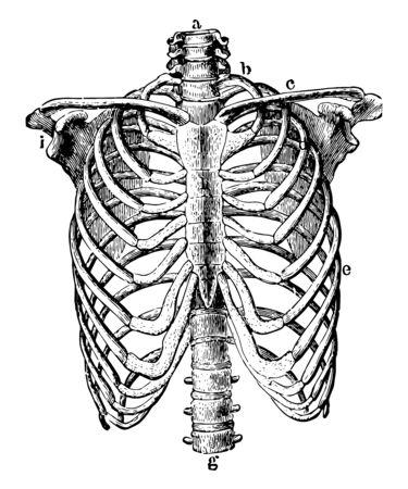 This illustration represents Thorax Skeleton, vintage line drawing or engraving illustration.
