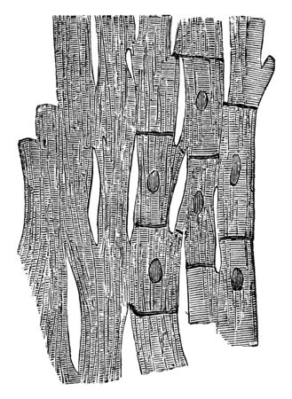 This illustration represents Muscle Fibers of the Heart, vintage line drawing or engraving illustration. Çizim