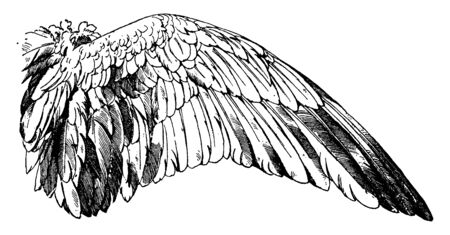 Wild Goose Wing have a bird wing, vintage line drawing or engraving illustration.