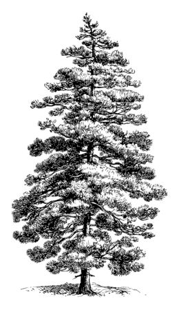 A type of Pine tree which is a native or inhabitant of Corsica, vintage line drawing or engraving illustration. Illusztráció