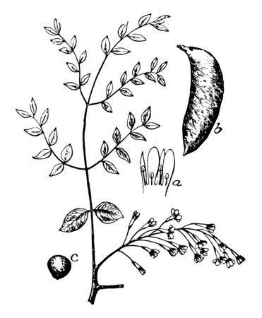 This is small branch of Kentucky coffee tree. There is an image of seed, male flower, and fruit. Seeds are toxic, vintage line drawing or engraving illustration. Stock Illustratie
