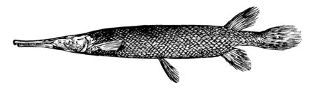 Shortnose Gar is a fish in the Lepisosteidae family of garpikes, vintage line drawing or engraving illustration.