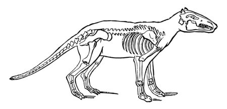 Anoplotherium which is an extinct hoofed mammal, vintage line drawing or engraving illustration.