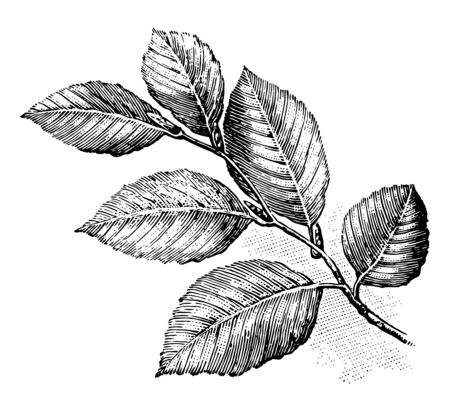 In this picture this is Leaf arrangement of European beech, vintage line drawing or engraving illustration. Ilustração