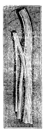 This illustration represents Nerve Trunk Dividing, vintage line drawing or engraving illustration.