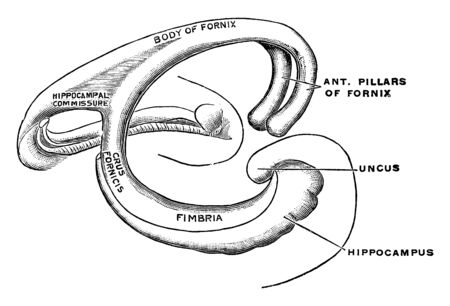 The fornix is a paired structure consisting of bilaterally symmetrical halves composed of longitudinally directed fibers, vintage line drawing or engraving illustration.