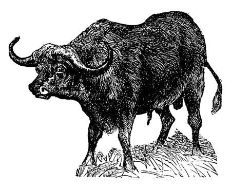 Cape Buffalo is a large African bovine, vintage line drawing or engraving illustration. Illustration