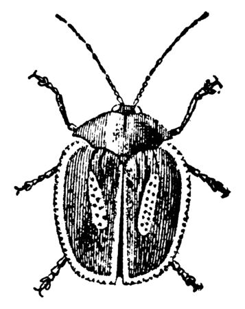 This illustration represents Longhorned Tortoise Beetle, vintage line drawing or engraving illustration. Foto de archivo - 133003120