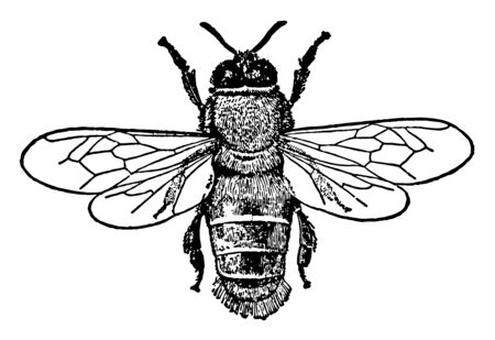 Male Honey Bee primarily distinguished by the production and storage of honey, vintage line drawing or engraving illustration.