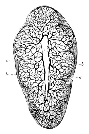 This illustration represents Lobule of Thymus Gland, vintage line drawing or engraving illustration.
