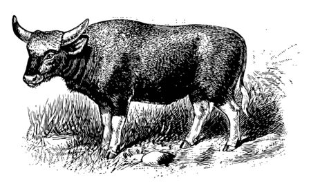 Gayal also known as mithun is a large domestic bovine distributed in Northeast India, vintage line drawing or engraving illustration.
