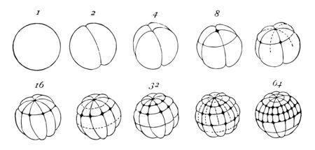 División de óvulos de rana donde los números indican el número de células o blastómeros, dibujo de línea vintage o ilustración de grabado. Ilustración de vector