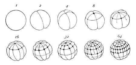 Frog Ovum Division where the numbers indicate the number of cells or blastomeres, vintage line drawing or engraving illustration.