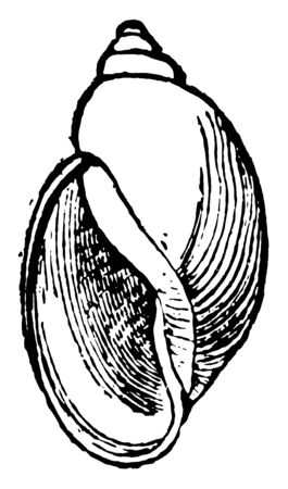 Physa Heterostropha is the common species of left handed snail of brooks and ponds, vintage line drawing or engraving illustration.  イラスト・ベクター素材