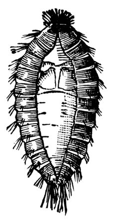 Carpet Beetle is a 3 mm long beetle belonging to the family Dermestidae, vintage line drawing or engraving illustration. Foto de archivo - 133001854