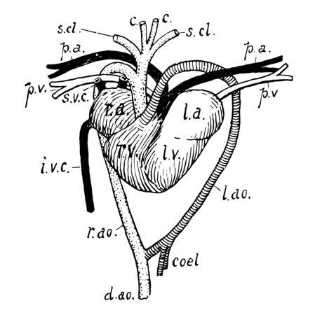 Heart and associated vessels of tortoise, vintage line drawing or engraving illustration. Ilustração