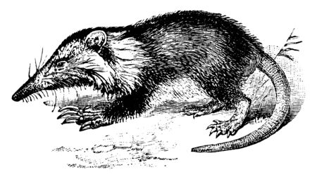 Agouta is a solenodon found only on Hispaniola, vintage line drawing or engraving illustration.