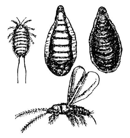 Aspidiotus Citricola was found on imported lemons in Jacksonville, vintage line drawing or engraving illustration.