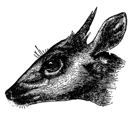 Fierce Bush Buck is a large antelope found widely in sub Saharan Africa, vintage line drawing or engraving illustration.
