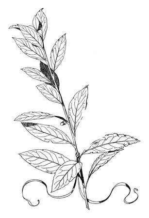 Laurel Ornament is an Evergreen, its blossoms a yellowish white, vintage line drawing or engraving illustration.