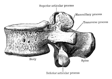 This illustration represents Third Thoracic Vertebra Viewed from Side, vintage line drawing or engraving illustration.