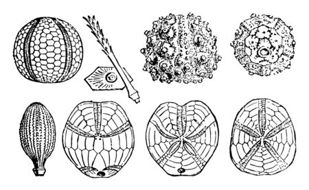 Illustration shows various sea urchin fossils Which includes Palaeechinus, Carboniferous, A plate and radiole of Archaeolcidaris,  A radiole of Cidaris, Mid, Jurassic, Salenia, Cretaceous,  vintage line drawing or engraving illustration. Ilustração