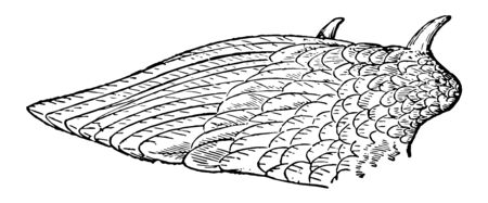 Wing of Kamichi or Crested Screamer which consisting of a hollow tube or barrel and a stem rising from it, vintage line drawing or engraving illustration. Stock Illustratie