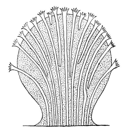 Alcyonacea Alcyonaria which is an order of sessile colonial cnidarians found throughout the oceans of the world, vintage line drawing or engraving illustration. Çizim