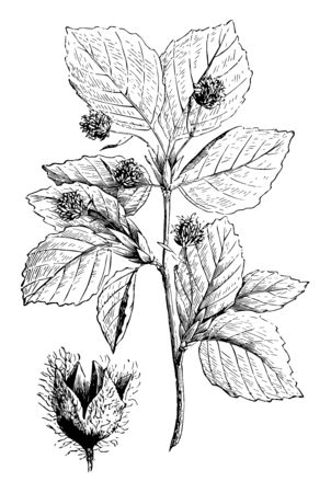 A large tree with smooth grey bark, glossy leaves, and hard, pale fine-grained timber which is called as beech, vintage line drawing or engraving illustration.