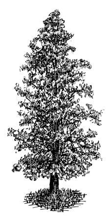 Dies ist ein Bild von Sumpfzypresse in pyramidenförmiger Kulturform. Es ist auch als Taxodium Distichum, Vintage-Linienzeichnung oder Gravierillustration bekannt.