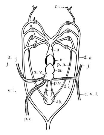 Diagram of heart and branchial arches in Ceratodus, vintage line drawing or engraving illustration.