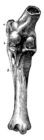 Stifle Joint Ligaments is a complex joint in the hind limbs of quadruped mammals, vintage line drawing or engraving illustration.
