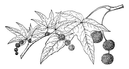 This is the branch of Platanus Wrightii also known as Arizona Sycamore. The Arizona sycamore is a large, spreading, deciduous tree up to 70 ft. tall. This is beautifully arched with white branches, vintage line drawing or engraving illustration.