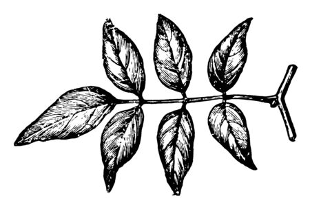 Pinnate Leaf of Jasmine, of the olive family which contains 225-450 tropical and subtropical species of fragrant, flowering, woody shrubs, vintage line drawing or engraving illustration.
