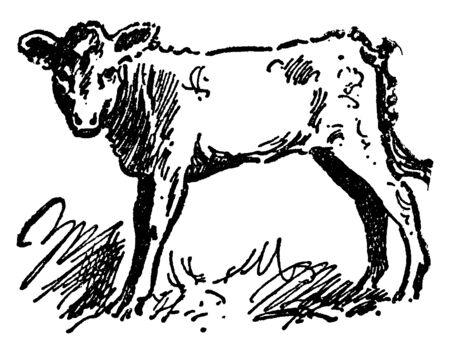 Cow is the most common type of large domesticated ungulates, vintage line drawing or engraving illustration.
